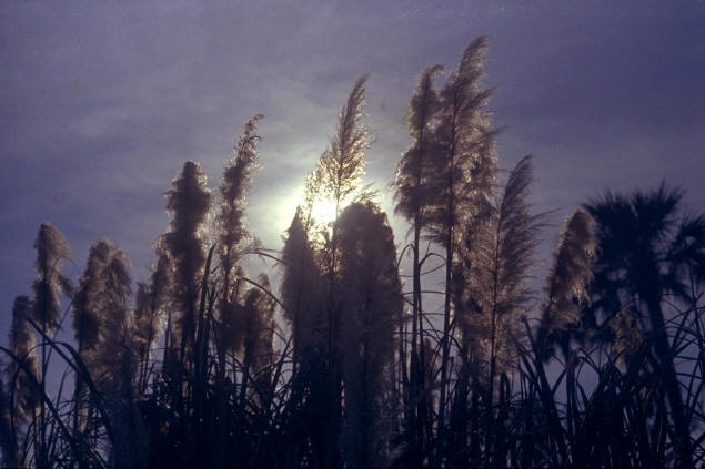 Setting sun through sea oats, Palm Coast.