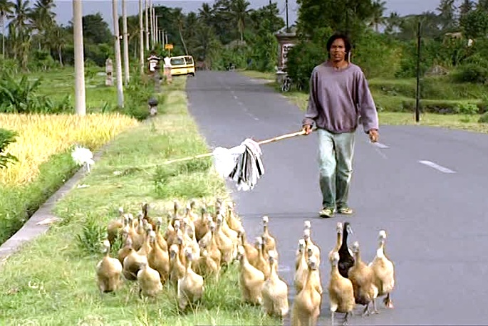 Indonesian rice farmer driving his geese