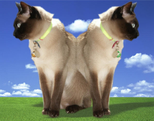 Siamese Twin Cats
